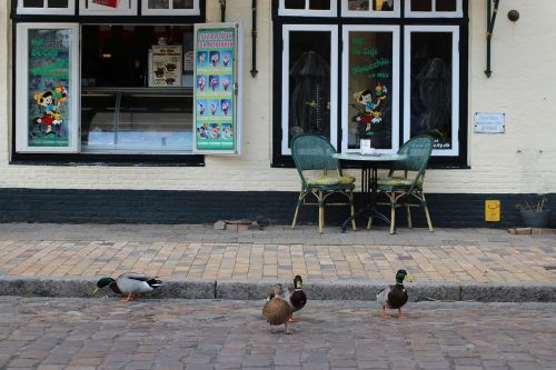 mallard mätzente ducks