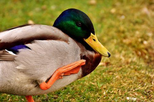 mallard water bird drake