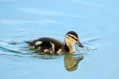 mallard  ducklings  water