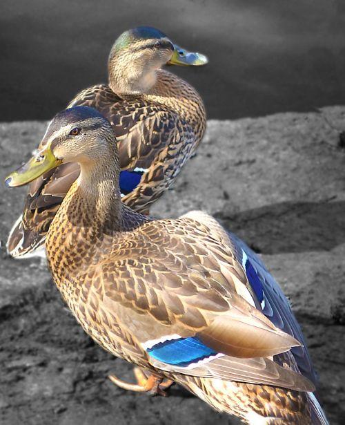 mallard duck duck bird