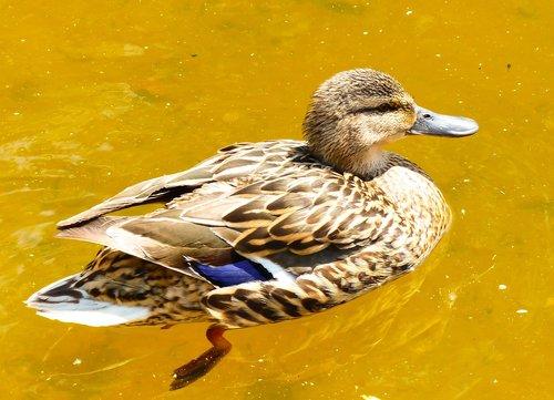 mallard duck  female  water bird