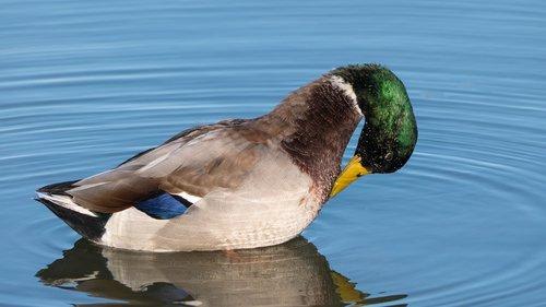 mallard duck  duck  preening