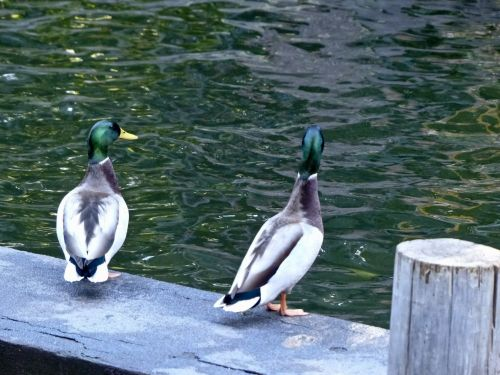 Mallard Duck Friends