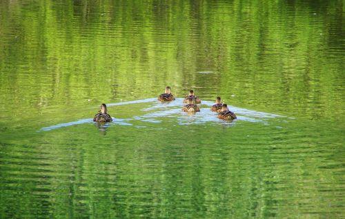 mallard ducks mallard waterfowl