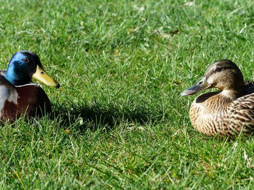 mallard pair stock duck couple pair