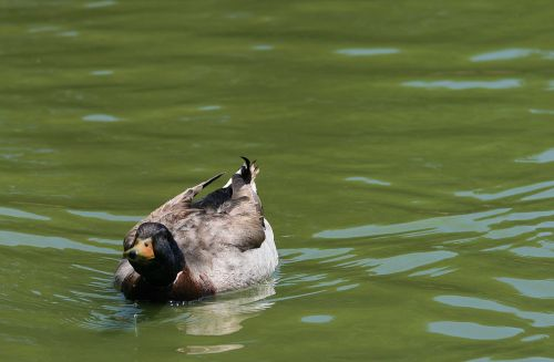 Mallard With Neck Stretched