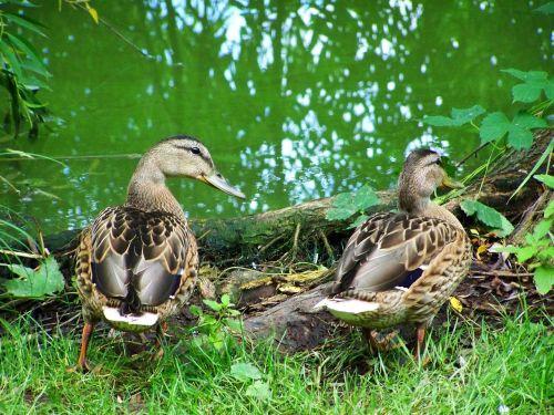 mallards waterfowl nature
