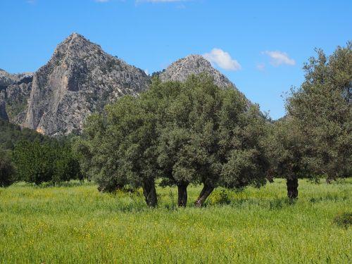 mallorca olive tree olive plantation