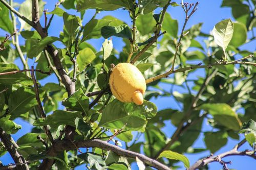 mallorca lemon lemon tree