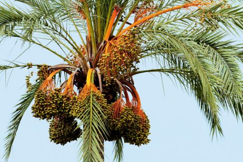 mallorca spain palm fruit