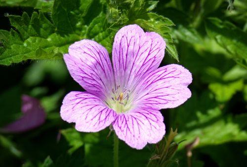 Mallow,Malva,gėlė,violetinė,violetinė,laukinis malvelas,šviesiai violetinė,dekoratyvinė gėlė,dekoratyvinis augalas,žiedas,žydėti,šviesiai rožinė,helllila