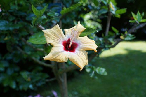 mallow flower yellow