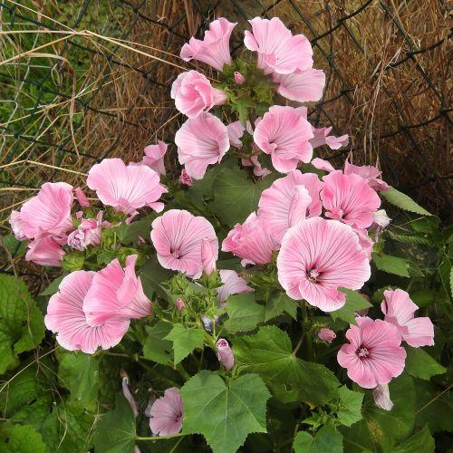 Mallow,krūmas,rožinis,dekoratyvinis krūmas,sodas,žiedas,žydėti,žydintis krūmas