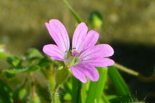 mallow flower lilac