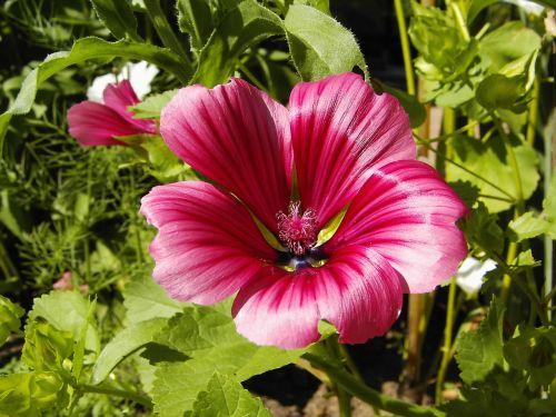Mallow,žiedas,žydėti,raudona,sodas,gėlė