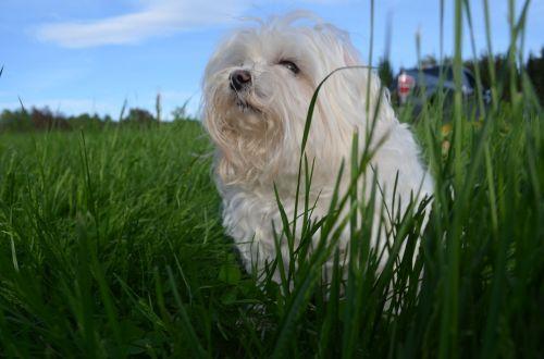 maltese vermont grass