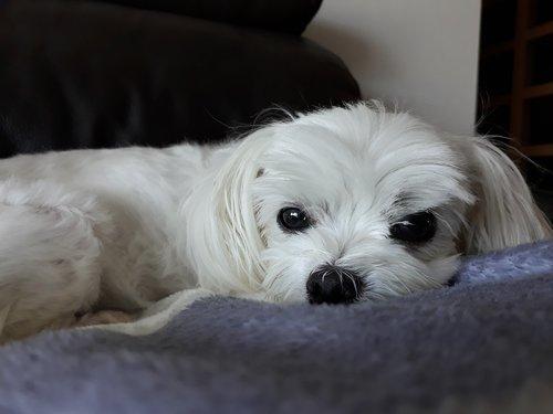 maltese  puppy  dog