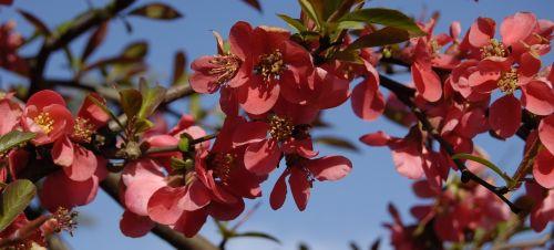 malus paradise apple flowers
