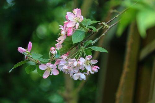 malus flowers apple