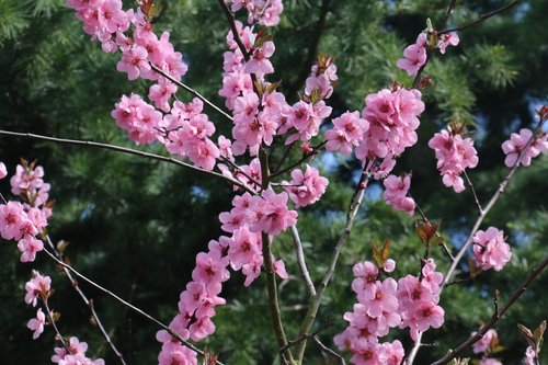 malus  flower  branches