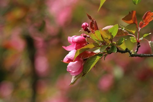 malus  branch  flower