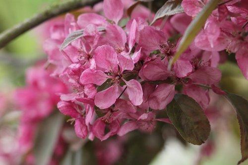 malus  flower  branch