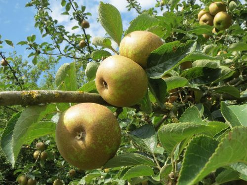 malus apple tree apples