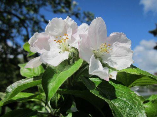 malus domestica apple tree fruit tree
