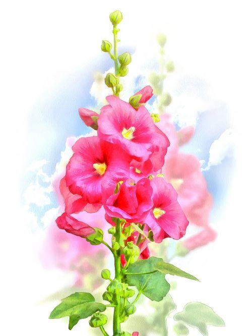 malva flower summer