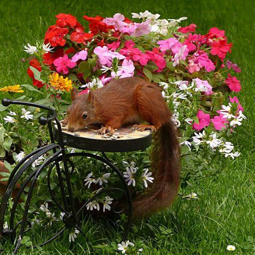 mammal squirrel sciurus vulgaris major