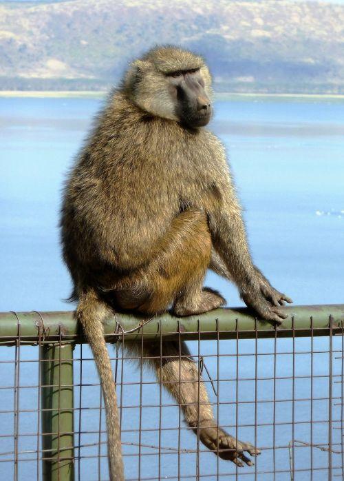 mammal monkey balance