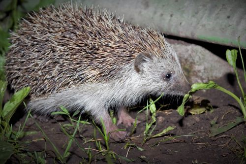 mammal hedgehog protection