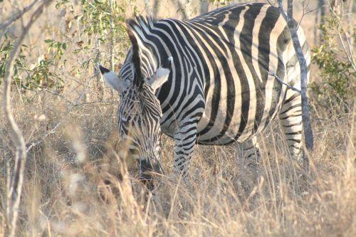 mammal animal grazing zebra