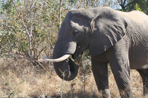 žinduolis,gyvūnas,valgyti drambliu,dramblys,gamta,laukinė gamta,afrika