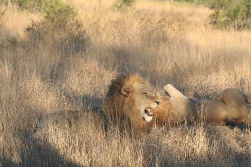 mammal animal roaring lion lion