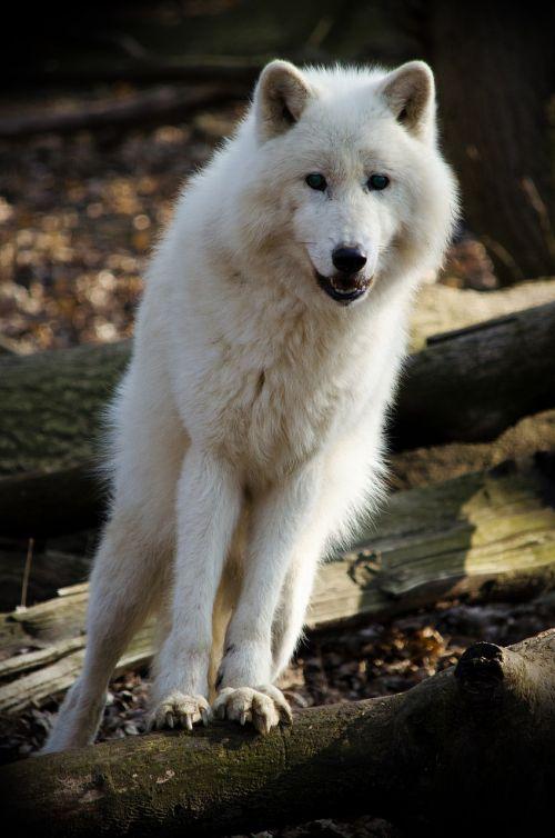 mammal wolf nature