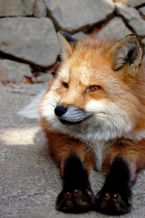 mammal fox animal