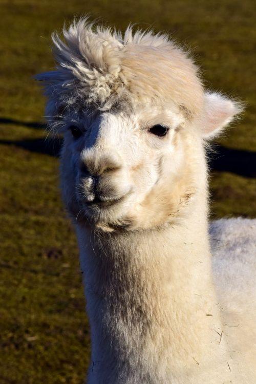 mammal wool alpaca