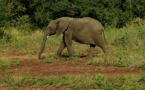 mammal wildlife elephant