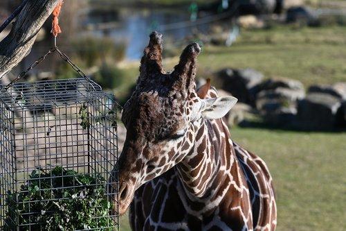 mammal  giraffe  zoo