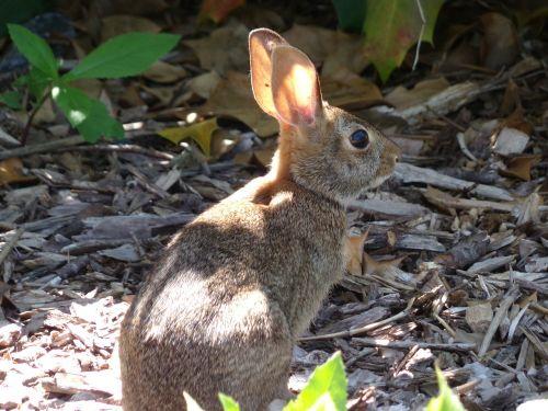 mammal rabbit animal