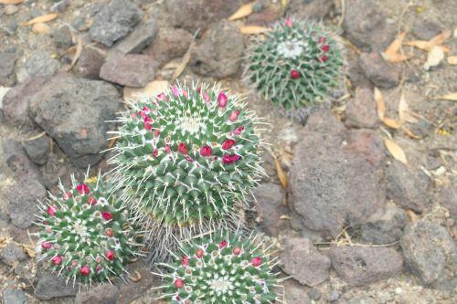 mammalaria cactus desert plant
