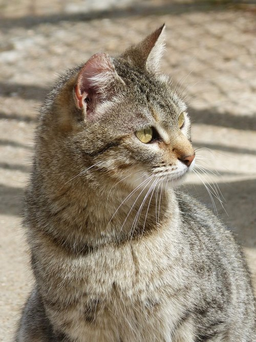 mammalia  nice  cat