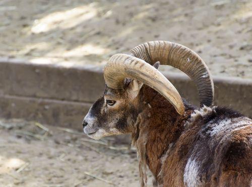 mammals mouflon zoo