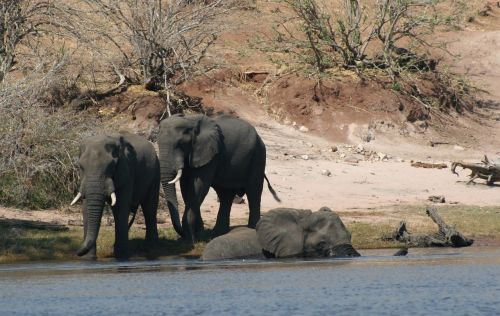 mammals animals elephants