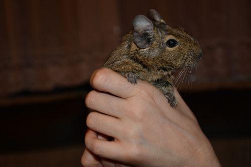 mammals charming rodent