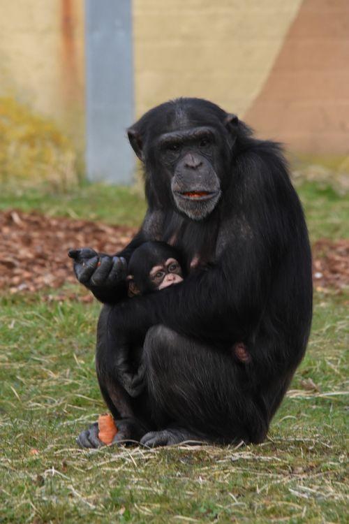 mammals primates hominoidea