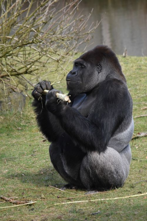 mammals monkey hominoidea