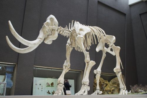 mammoth skeleton museum