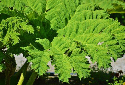 mamutas lapų gunnera,gunnera-tinctoria,lapai,augalas,žalias lapas,lapų žarnos,žalias,gamta